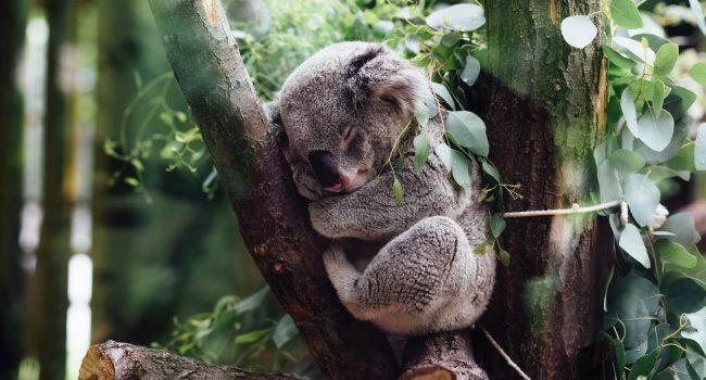Australian koala in tree