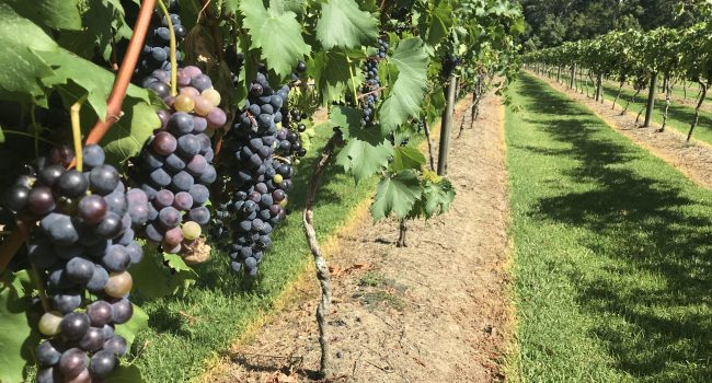 Purple grapes growing in the vineyard at Friday Creek Retreat on a scenic drive through Coffs Harbour hinterland